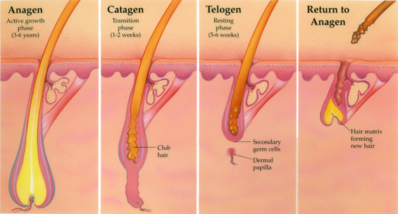 How Hair Grows at Estetigraft Hair Restoration and Transplantation